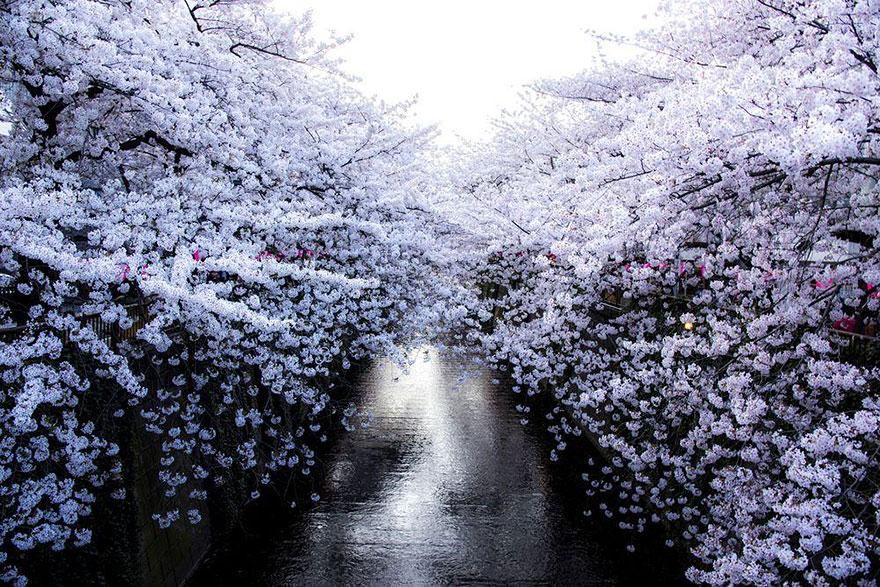 primavera-flores-cerezo-sakura-japon-national-geographic-2