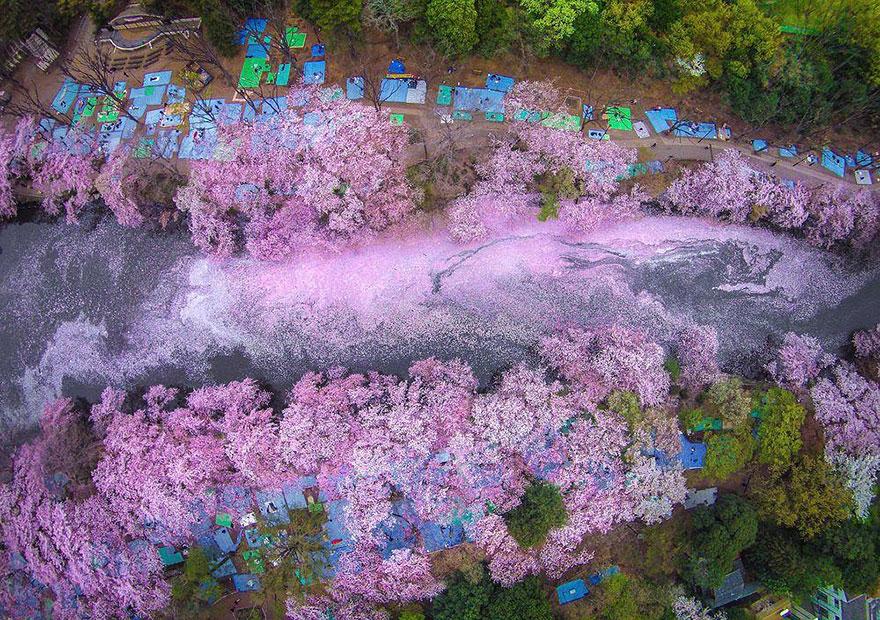 primavera-flores-cerezo-sakura-japon-national-geographic-4