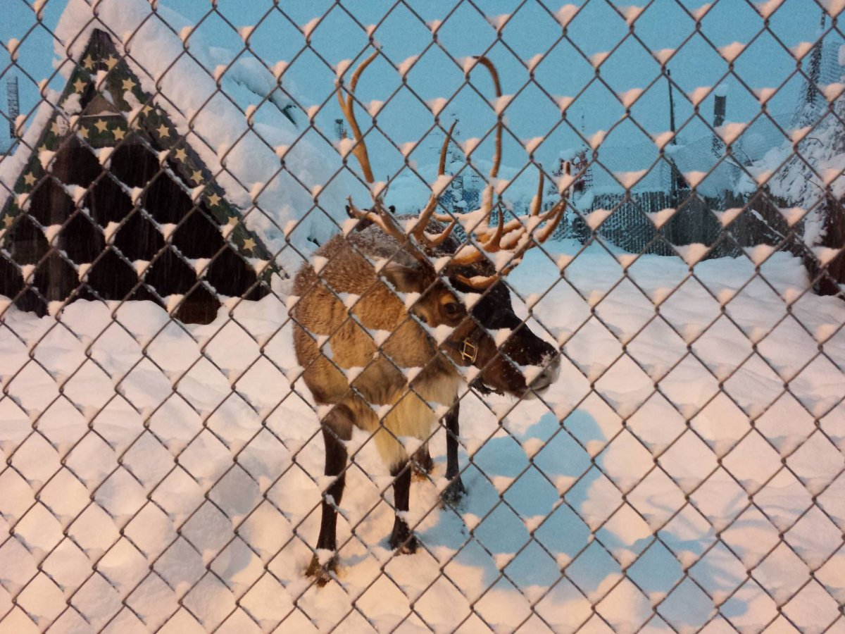 there-are-reindeer-in-a-pen-right-in-front-of-the-condo