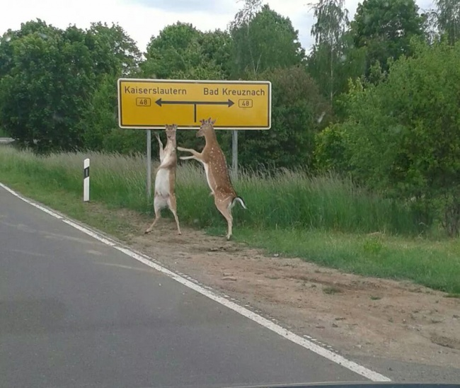 170305-R3L8T8D-650-hitchhiking-deer-act-normal
