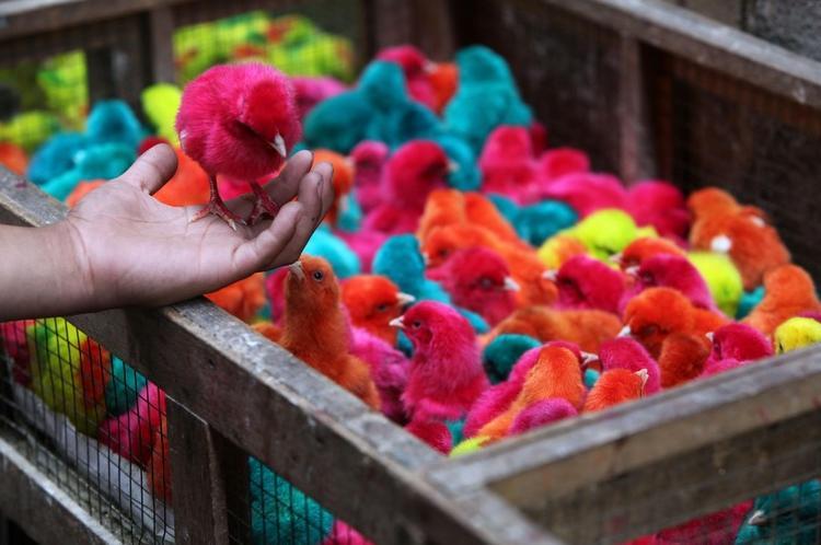 pollitos-de-colores