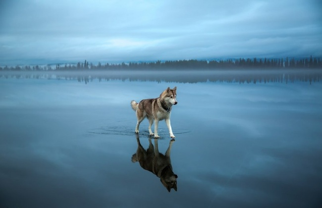 639305-650-1453321451-Siberian-Husky-On-A-Frozen-Lake_0