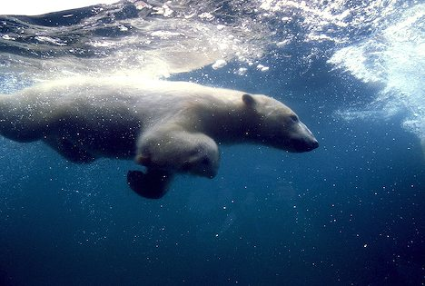 Underwater is the Polar bears swimming Ground