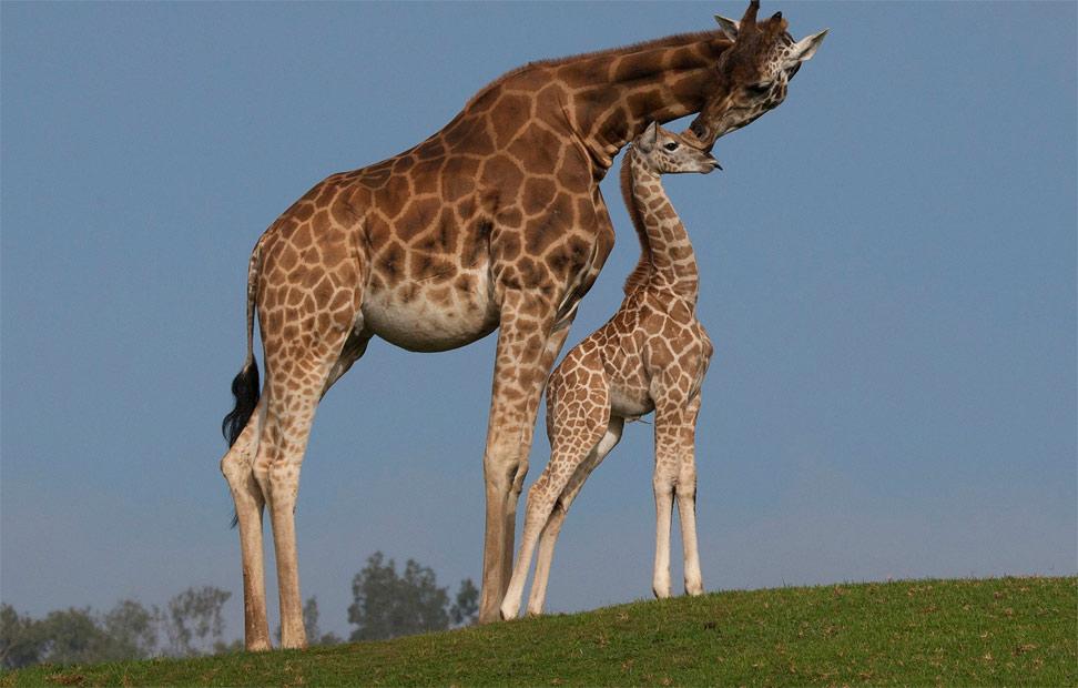 jirafa-y-cria