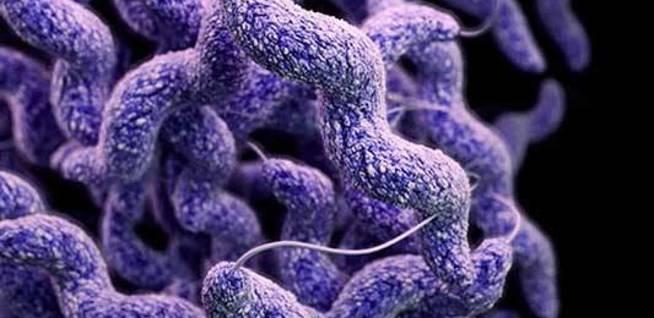 bacteria-campylobacter