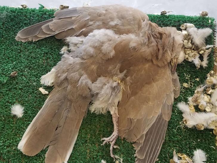 13_dead-dove-1