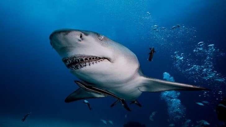 Underwater-view-of-Lemon-Shark-Jupiter-Florida-USA-2