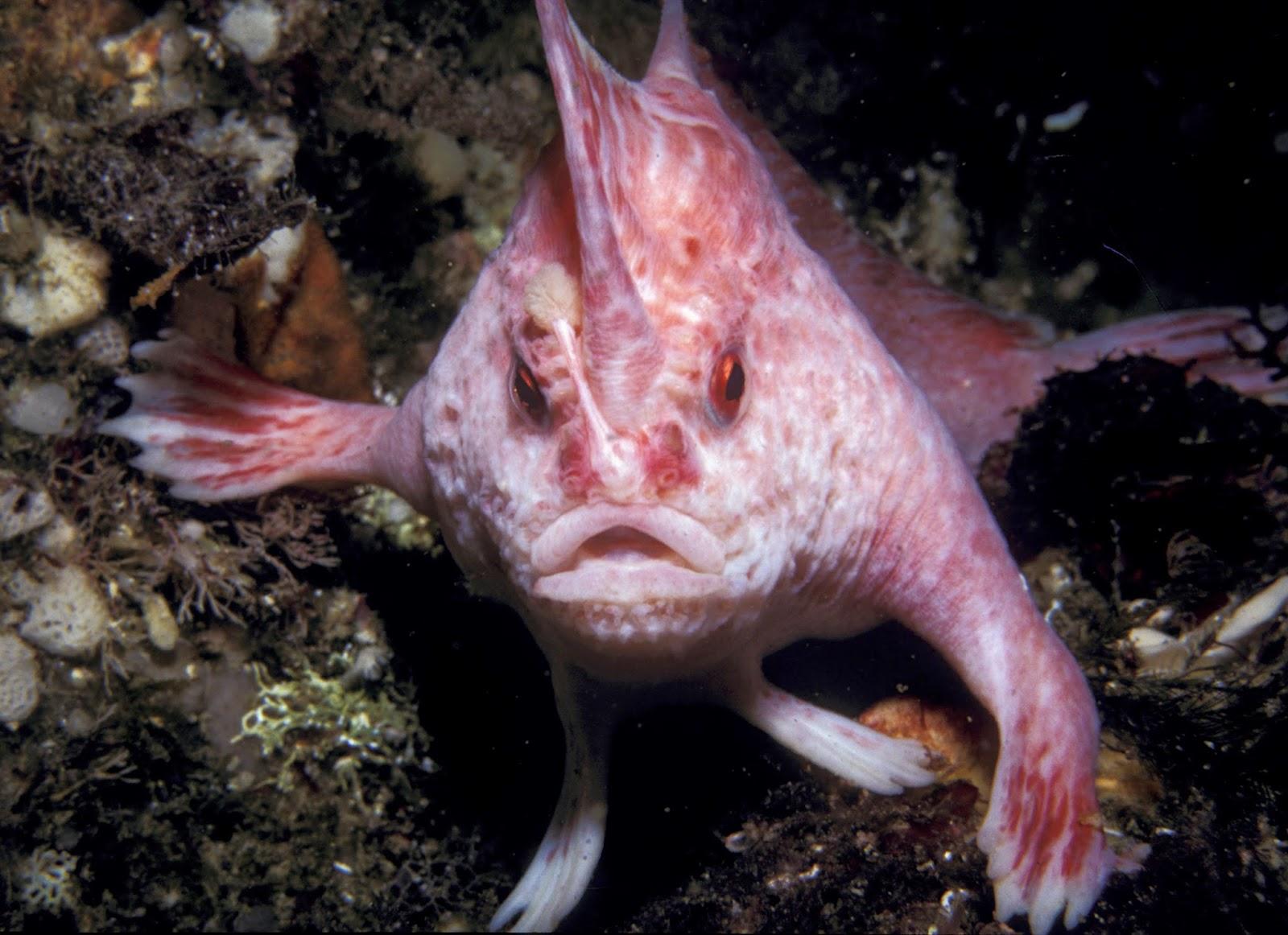 ahloo-minggu-1300-handfish-ikan-unik