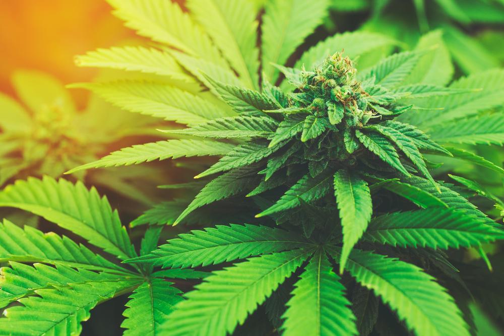 que-le-ocurre-a-tu-cuerpo-cuando-fumas-marihuana-durante-20-anos-03